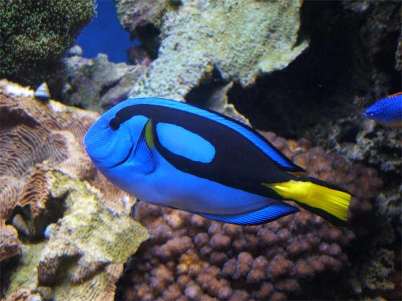 caring for the blue tang