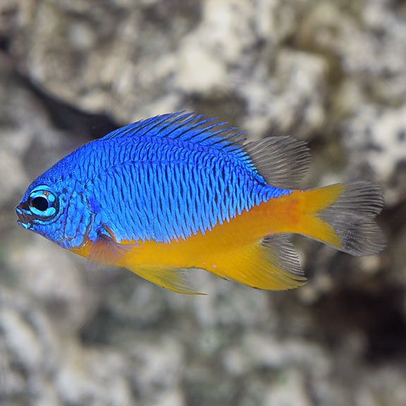 azure damselfish