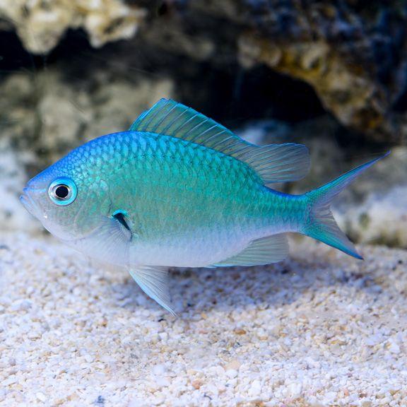 blue/green chromis