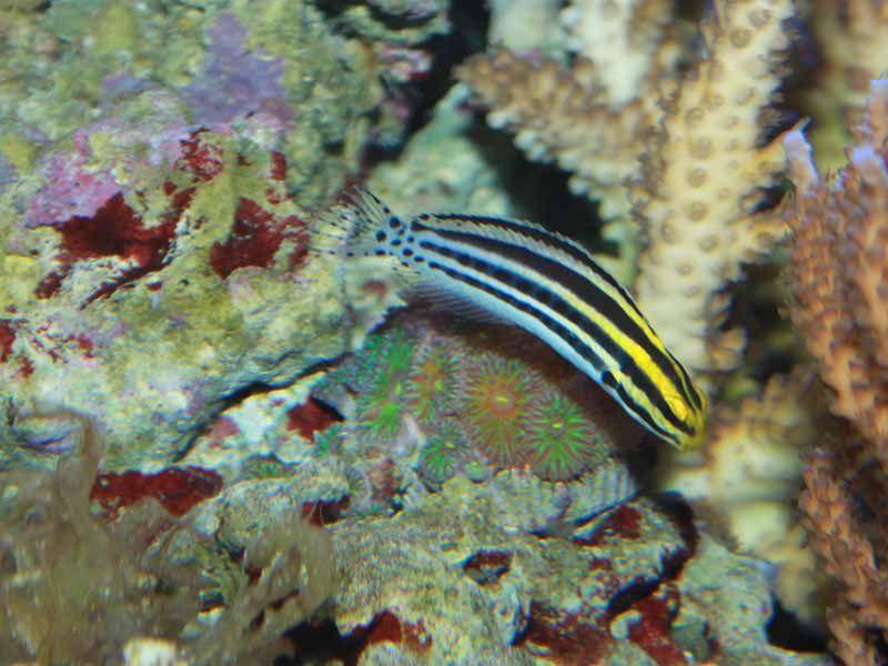striped blenny