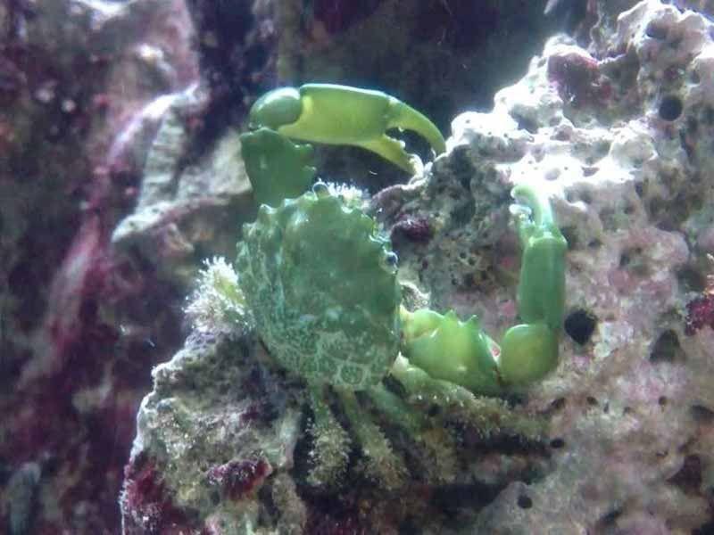 Emerald Crab Care
