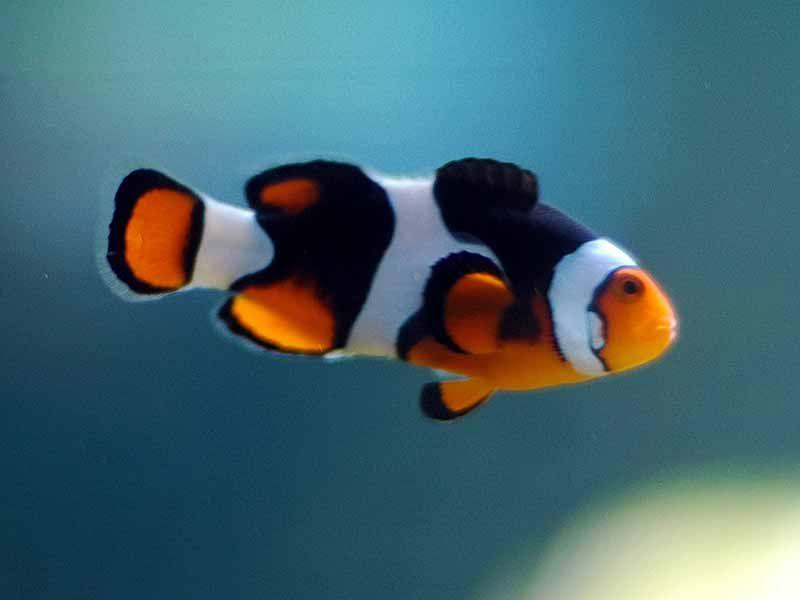 true percula clownfish vs ocellaris clownfish