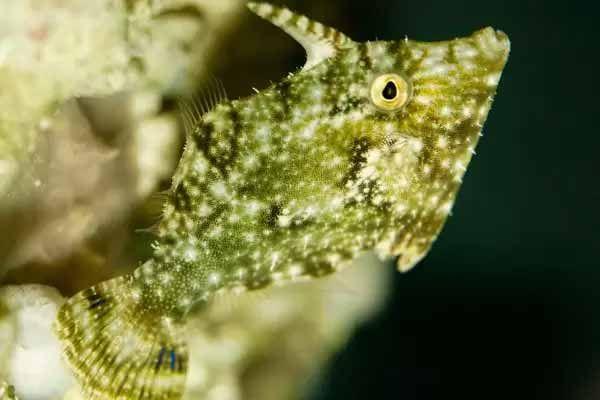 bristle tail filefish