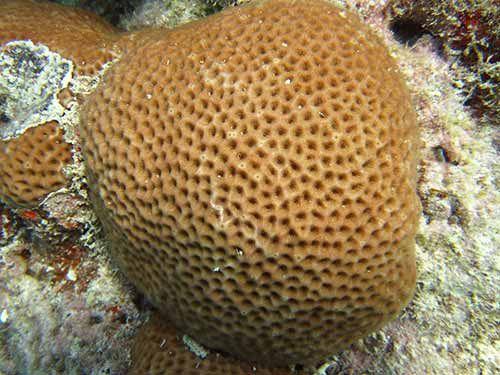 starlet coral