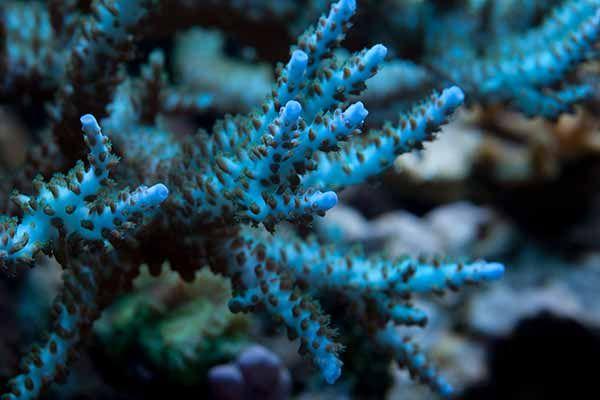 sps corals - acropora